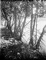 COLLECTIE TROPENMUSEUM Mangrove langs de kust van Pasoeroean TMnr 10024224.jpg