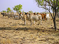 CSIRO ScienceImage 10444 Brahman cattle grazing in the Burdekin River catchment area.jpg