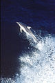 CSIRO ScienceImage 29 Dolphin.jpg