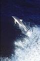 CSIRO ScienceImage 29 Dolphin.jpg