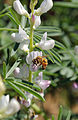 CSIRO ScienceImage 3553 Lupin flowers and bee.jpg
