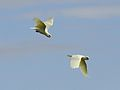 Cacatua sanguinea -Loxton, South Australia, Australia -flying-8.jpg
