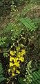 Caesalpinia mimosoides 13.JPG