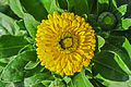 Calendula officinalis 27122014 (3).jpg