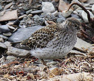 Purple sandpiper - Summer plumage
