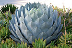 California Cabbage Agave.jpg