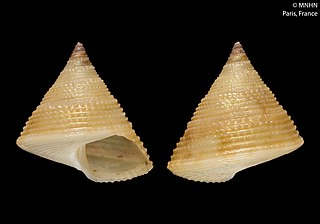 <i>Calliostoma emmanueli</i> species of mollusc