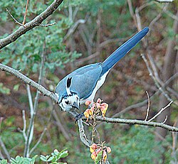 Calocitta formosa, the White-throated Magpie-jay (8987074921).jpg