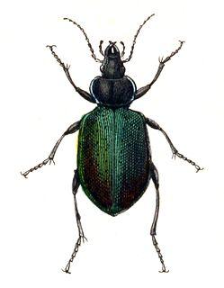 <i>Calosoma</i> Genus of beetles