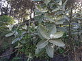 Calotropis gigantea-gaint milk plant-yercaud-salem-India.JPG