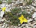 Calylophus lavandulifolius 10.jpg