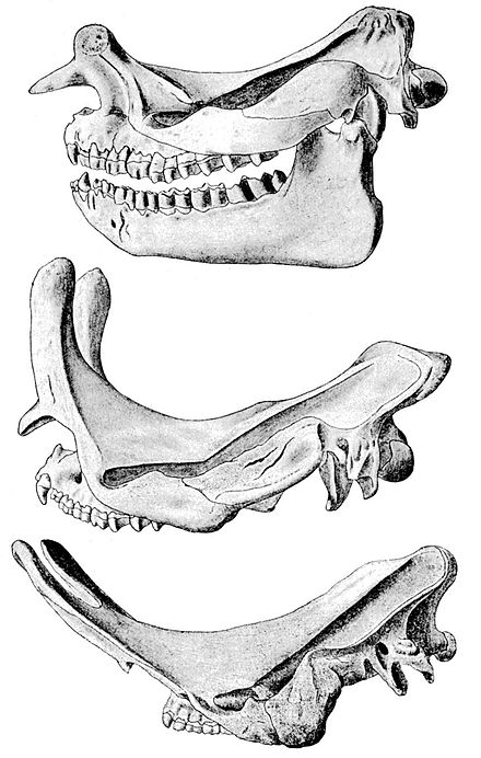 Cambridge Natural History Mammalia Fig 137.jpg