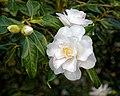 Camellia japonica 'Lady Vansittart' flower at RHS Garden Hyde Hall, Essex, England 01.jpg