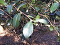 Camellia oleifera 1zz.jpg