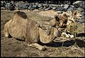 Camels at Jamieson Park Scarborough-2 (14654352630).jpg