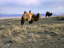 Camels in Kosh-Agachsky District.jpg