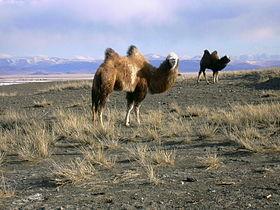 Верблюды в Чуйской степи