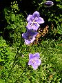 Campanula persicifolia20090702 097.jpg