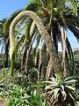 Canarian flora - panoramio.jpg
