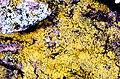 Candelaria concolor-7.jpg