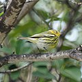Cape May Warbler (5270339099).jpg
