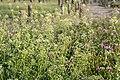 Capsella bursa-pastoris 04.jpg