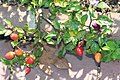 Capsicum annuum Chinese Five-Color 2zz.jpg