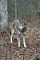 Captive male red wolf (7748114972).jpg