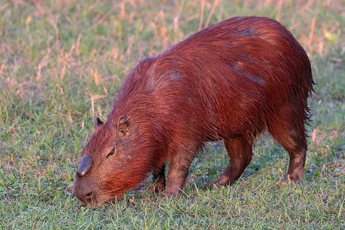 Capybara (Hydrochoerus hydrochaeris) alpha male.JPG