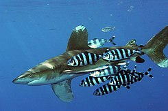 Pilot Fish Gather Around Many Diffe Kinds Of Sharks But They Prefer The Oceanic Whitetip