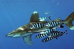 Carcharhinus longimanus kun pilotfiŝoj