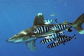 Weißspitzen-Hochseehai (Carcharhinus longimanus), begleitet von Lotsenfischen (Naucrates ductor)