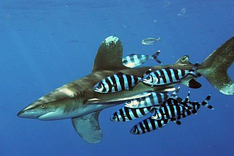 Pilot fish - Pilot fish swimming with an oceanic whitetip shark