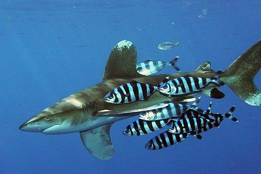 Carcharhinus longimanus 1