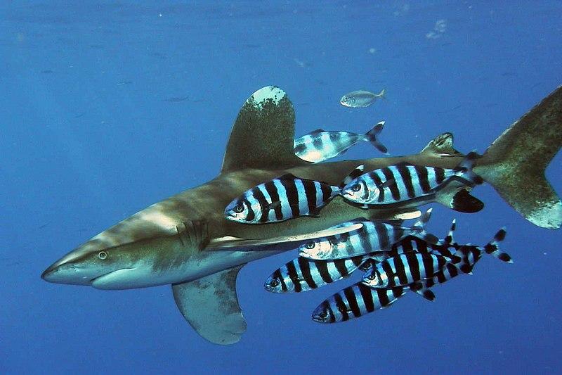 http://upload.wikimedia.org/wikipedia/commons/thumb/3/32/Carcharhinus_longimanus_1.jpg/800px-Carcharhinus_longimanus_1.jpg