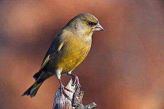 Chloris (bird) - Image: Carduelis chloris 3 (Marek Szczepanek)