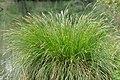 Carex paniculata plant (13).jpg