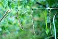 Carex pendula inflorescens (7).jpg