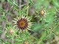 Carlina vulgaris 32.jpg