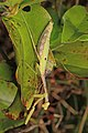 Carolina Mantis - Stagmomantis carolina, Mason Neck, Virginia (27856351629).jpg