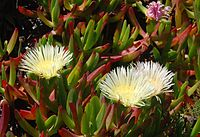 Carpobrotus April 2008-1
