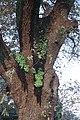 Carvalho-roble situado no lugar da Carvalheira, Guimarei - 18.jpg