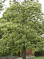 Catalpa ovata tree 2.jpg