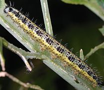 Caterpillar of Pieris brassicae 9087.jpg