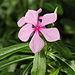 Catharanthus roseus-IMG 5432.jpg