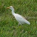 Cattle Egret (Bubulcus ibis) -walking2.jpg