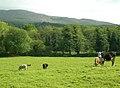 Cattle Grazing Land - geograph.org.uk - 456552.jpg