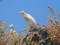Cattle egret on a mango tree 2.jpg