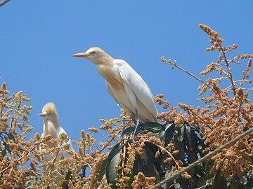 Cattle egret on a mango tree 2.jpg