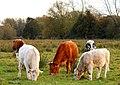 Cattle grazing at Kennington - geograph.org.uk - 1624809.jpg